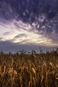 Michael Huddleston - Harvest corn at sunset