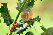Mice Photo Posters - Harvest Mouse at Christmas Poster by Louise Heusinkveld