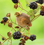 Louise Heusinkveld - Harvest mouse on a...
