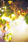 Vine Leaves Prints - Harvest Time. Sunny grapes I Print by Jenny Rainbow
