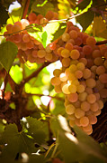 Grapevine Leaf Photo Prints - Harvest Time. Sunny Grapes III Print by Jenny Rainbow