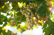 Vine Leaves Prints - Harvest Time. Sunny Grapes IV Print by Jenny Rainbow