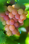 Grape Vineyard Prints - Harvest Time. Sunny Grapes Print by Jenny Rainbow