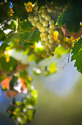 Grapevine Leaf Photo Framed Prints - Harvest Time. Sunny Grapes V Framed Print by Jenny Rainbow