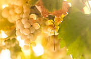 Grapevine Leaf Photo Prints - Harvest Time. Sunny Grapes VI Print by Jenny Rainbow