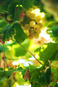 Vine Leaves Prints - Harvest Time. Sunny Grapes VII Print by Jenny Rainbow