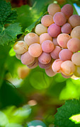 Grape Vineyard Prints - Harvest Time. Sunny Grapes VIII Print by Jenny Rainbow