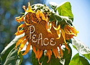 Gwyn Newcombe - Harvesting Peace
