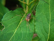 Harvestmen Photos - Harvestmen Spider       Phalangium opili by Rory Cubel