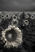 Foggy Prints - Haunting Sunflower fields 1 Print by Dave Dilli