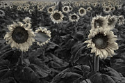 Stormy Metal Prints - Haunting Sunflowers Field 3 Metal Print by Dave Dilli