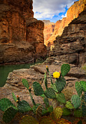 Red Cactus Flower Prints - Havasu Cactus Print by Inge Johnsson