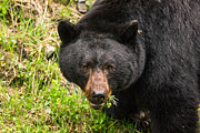 Fuzzy Digital Art - Having a salad before the main meal is always healthy-wild black bear by Eti Reid
