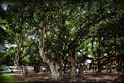 Lahaina Digital Art Prints - Hawaii - Banyan Park - Lahaina Maui Print by Paulette Wright