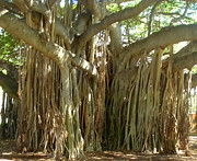 Woody Roots Posters - Hawaii Banyan Tree Poster by Rachel Munoz Striggow