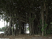 Banyan Tree Framed Prints - Hawaiian Banyan Tree - Hilo City Framed Print by Daniel Hagerman