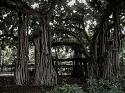 Tree Roots Prints - Hawaiian Banyan Trees Print by Daniel Hagerman