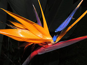 Floral Photography Prints - Hawaiian Bird of Paradise Print by Kristine Merc