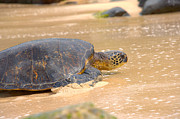 Black Top Prints - Hawaiian Green Sea Turtle 2 Print by Brian Harig
