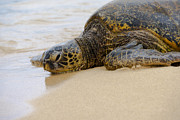 Black Top Prints - Hawaiian Green Sea Turtle 3 Print by Brian Harig