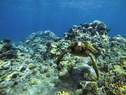 Green Sea Turtle Photos - Hawaiian Green Sea Turtle by Brad Scott