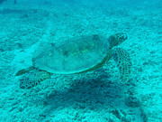 Hawaiian Islands Prints - Hawaiian Green Sea Turtle Print by Ellen Henneke