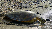 Lori Seaman - Hawaiian Green Sea Turtle