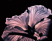 Metal Art Photography Posters - Hawaiian Hibiscus Flower Poster by Gerlinde Keating - Keating Associates Inc