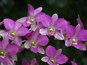 Hawaii Photos - Hawaiian Orchids by Jewels Blake Hamrick