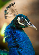 Peafowl Photos - Hawaiian Peacock by Inge Johnsson