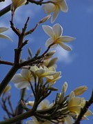 Hawaii Photos - Hawaiian Plumeria II by Jewels Blake Hamrick