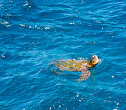 Sam Amato - Hawaiian Sea Turtle