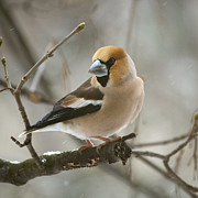 Daniel Csoka - Hawfinch