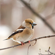 Daniel Csoka - Hawfinch II