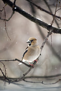 Daniel Csoka - Hawfinch III