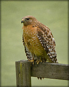 Serene Pyrography Posters - Hawk at Rest Poster by Shirley Tinkham