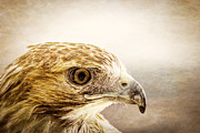 Hawk Framed Prints - Hawk Framed Print by Edward Fielding