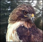 Hawk Eye - Wildlife Art Photography Print by Ella Kaye