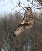 Hawk Bird Art - Hawk in Flight by Angie Vogel