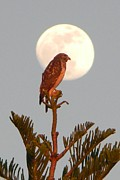 Moon Pyrography - Hawk in the Moon by Jerri Phillips