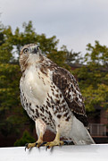 Wild Life Photos - Hawk by Luke Moore