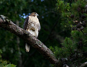 Hawk On Norris Lake Print by Douglas Stucky