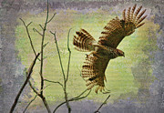 Deborah Benoit Posters - Hawk On The Hunt Poster by Deborah Benoit