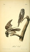 Audubon Drawings Posters - Hawk Owl  Poster by John James Audubon