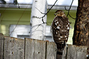 Kimberly Mackowski - Hawk Perching