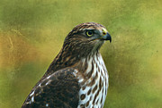 Hawk Art Prints - Hawk Portrait Print by Sandy Keeton