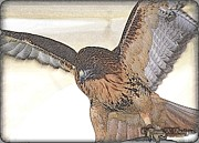 Terri K Designs - Hawk Sketch