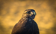 Hawk Stare Print by Marc Crumpler