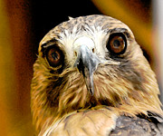Hawk Metal Prints - HawkEye Metal Print by Lois Bryan