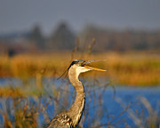 Aquatic Bird Posters - Hawking Heron Poster by Al Powell Photography USA